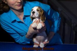 Magnifique Meute Marianna (продана, г.Москва)
