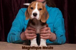 Magnifique Meute Marika (продана, Московская область) 2