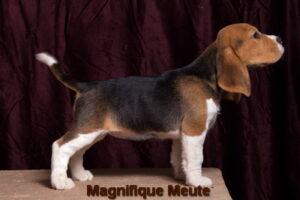 Magnifique Meute Marika (продана, Московская область)