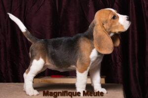 Magnifique Meute Martina (продана, Павловский Пасад)