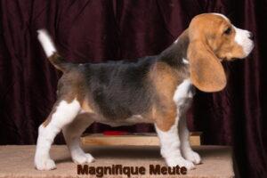 Magnifique Meute Martina (продана,Павловский Пасад)