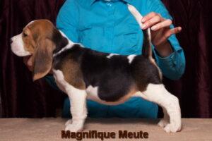Magnifique Meute Melissa (продается) 2