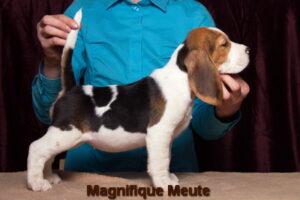 Magnifique Meute Melissa (продается) 3