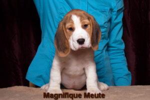 Magnifique Meute Melissa (продается)