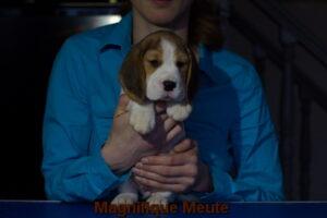 Magnifique Meute Melissa (продается) 5