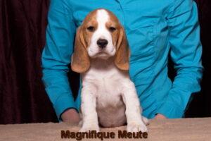 Magnifique Meute Mira (продается)
