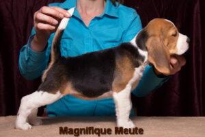 Magnifique Meute Mira ( продается)