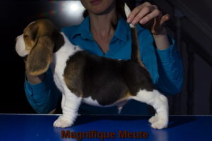 Magnifique Meute Murat (продан, г. Ступино)